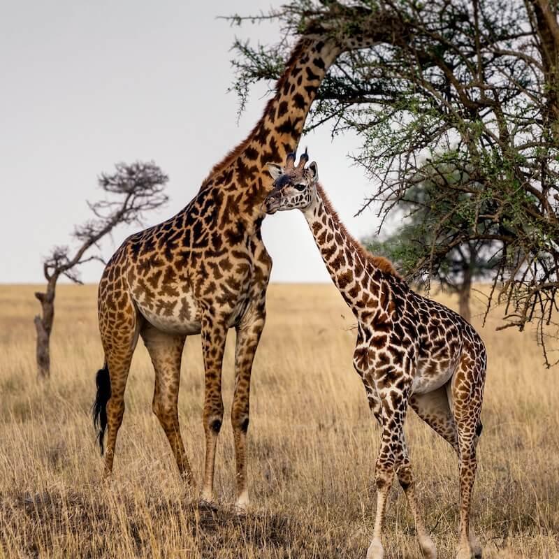 žirafy a přírodní kartáček na zuby
