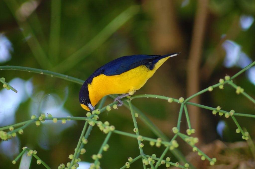 strom salvadory perské, z kterého je přírodní kartáček a ptáček na něm